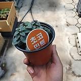 초코민트허브소품공기정화식물 10~20cm|