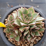 아즈타트랜시스|Echeveria longissima var aztatlensis