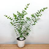 유칼립투스 / 비염효능 / 공기정화식물 /사진상품발송 X-068/ 한빛농원|