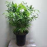 -테이블야자 대품 공기정화식물 507014980