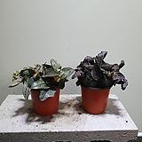 유포르비아 수입식물 꽃기린 202519912|