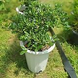 만리향 대품 야생화 공기정화식물 507029915|