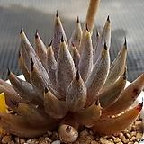 웅구아쿨라타 15개|Echeveria unguiculata