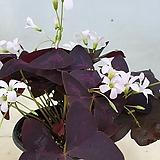 자주잎 사랑초.가을까지 꽃이 피고 겨울잠에 들어 갑니다,|