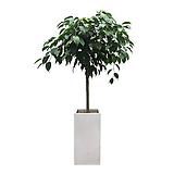 킹벤자민 흰색사각완성분 축하화분 인테리어화분 사무실식물|