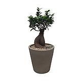 인삼팬더 인삼벤자민 원형완성분 축하화분 인테리어화분 사무실식물|