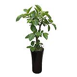 뱅갈고무나무 흰색원형완성분 축하화분 인테리어화분 사무실식물|Ficus elastica