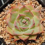 Echeveria 'Pink Tips'
