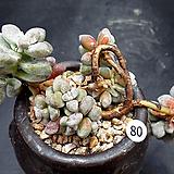 백로|Crassula deltoidea