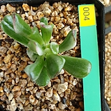 우주목백금 Crassula obliqua Gollum