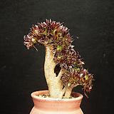 흑법사철화1(6.25)|Aeonium arboreum var. atropurpureum