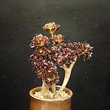 흑법사철화2(6.25)|Aeonium arboreum var. atropurpureum