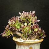 흑법사철화3(6.25)|Aeonium arboreum var. atropurpureum