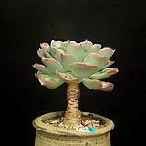 묵은 파고다(6.25)|Crassula Ivory Pagoda