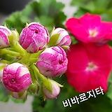 비바로지타+꽃사진첨부(Geranium2개)