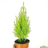 율마 / 공기정화식물 / 한빛농원|