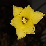 제피란섯 [노랑  노지월동 가능 ]|