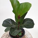 귀요미 외목대 떡갈고무나무 고무나무 공기정화식물