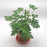 구문초 로즈제라늄|Geranium/Pelargonium