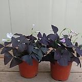 자주잎사랑초|