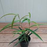 휘커스알리 고무나무/수입식물|Ficus elastica