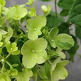 목수국 라임라이트|Hydrangea macrophylla