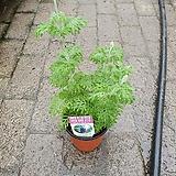피나타라벤다 라벤더 소품 허브 공기정화식물 15~20cm|