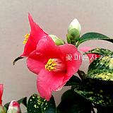 황금무늬동백(외목수형*A)-동일품배송 