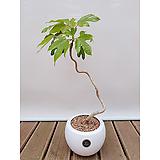 황칠나무 묘목 흰색원형화분 황칠잎 실내화초 공기정화식물