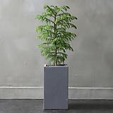 실내공기정화식물 아라우카리아 중형 시멘트화분|