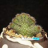 Huernia pillansii(후에르니아 필란시철화-6.27)