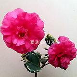 녹아도변천(무늬동백/2)-동일품배송 