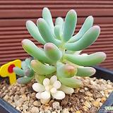 애심금 0607|Sedum pachyphyllum thin blue form