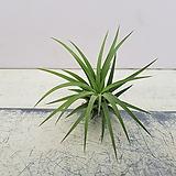 이오난사/공기정화식물/공중식물|