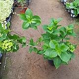 랩소디수국 |Hydrangea macrophylla