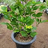 랩소디수국 #3|Hydrangea macrophylla