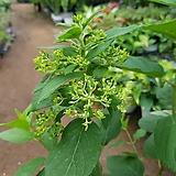 수국라임라이트#2|Hydrangea macrophylla