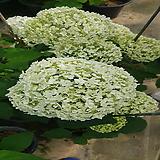 아나벨水菊(개화주)花盆
