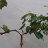 포도나무.캠벨묘목.노지월동가능.화분에서 식물 높이가 110cm정도입니다.|
