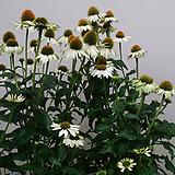 에키네시아.흰색.월동짱!가능.아주좋은향.상태굿.고급종.무리지어서 심으면 좋습니다..|