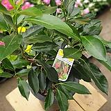 나무산호수(아왜나무)|