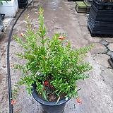 석류나무 미너식물 열매류 주렁주렁 55~70cm|