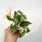 호야 / 핑크빛호야 / 공기정화식물 / 한빛농원|Hoya carnosa
