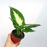 마리안느 / 디펜바키아 / 공기정화식물|