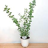 유칼립투스 / 비염효능 / 공기정화식물 /사진상품발송 X-069/ 한빛농원|