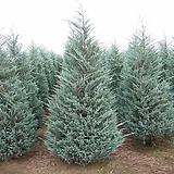 문그로우 / 측백나무 / 전정이 필요 없는 측백 / 전국 노지 월동 / 높이: 약40cm|