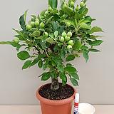 애기사과나무(외목분재대품)-열매수형 