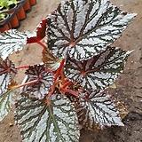 은베고니아 1|Begonia