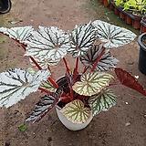 은베고니아중품2|Begonia