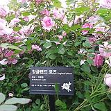 영국장미.대품.잉글랜드 로즈.old rose 향기강함.예쁜핑크색.(꽃형 예쁜형).울타리.넝쿨장미.월동가능.상태굿..늦가을까지 피고 합니다.|